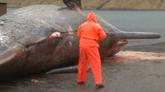 Chasse à la baleine : Une décision historique, avec des répercussions mondiales