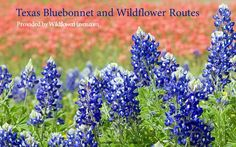 Texas Bluebonnet and Wildflower Routes eBooks