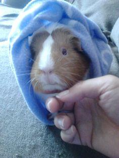 Lily guinea pig