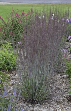Proven Winners - Prairie Winds® 'Blue Paradise' - Little Bluestem - Schizachyrium scoparium tan plant details, information and resources. Landscaping Supplies, Landscaping Plants, Front Yard Landscaping, Landscaping Ideas, Landscaping Software, Prairie Garden, Landscape Plans, Landscape Grasses, Landscape Designs