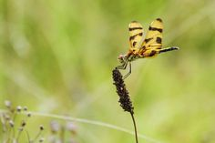 Halloween Pennant Dragonfly. Photo by Chris Crowder.