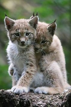 Google+ Beautiful cats ...