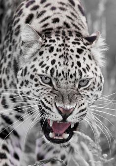 angry leopard - via Pixdaus