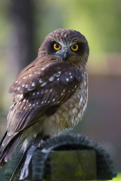 Boobook Owl (Morepork) | by Nick Didlick Wood Pigeon, Spotted Owl, Bay Of Islands, Owl Photos, Scenery Wallpaper, Kiwiana, Kinds Of Birds, Bird Tree, All Gods Creatures