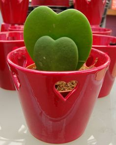 View picture of Wax Hearts, Sweetheart Hoya, Valentine Hoya, Wax Plant, Porcelain Flower (Hoya kerrii) at Dave's Garden. All pictures are contributed by our community. Succulent Gardening, Cacti And Succulents, Planting Succulents, Container Gardening, Hoya Plants, Cactus Plants, Garden Plants, Cactus Terrarium, Heart In Nature