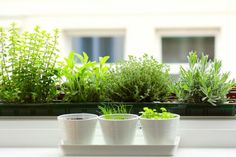 5 Quick Fixes: Herbs for the Kitchen Windowsill: Remodelista