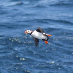 Flying Puffin! (In Newfoundland)