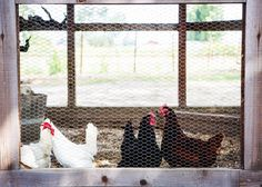 We may be known for our Black Chicken Zinfandel, but did you know about our chickens at the winery? Come visit us.and the chickens! Black Chickens, Tasting Room, Napa Valley, This Is Us, Kids Rugs, Home Decor, Decoration Home, Kid Friendly Rugs, Room Decor