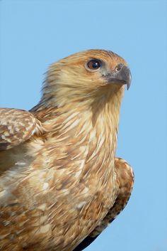 Whistling Kite::: Portrait by David Jenkins Raptor Bird Of Prey, Birds Of Prey, Sea Birds, Wild Birds, Beautiful Birds, Animals Beautiful, Fish Hawk, Different Birds, Animales
