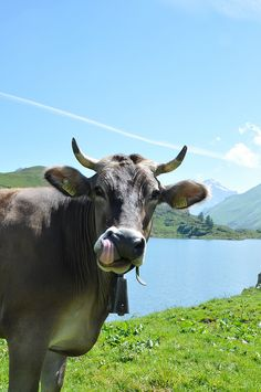 Swiss cow, with a bell... the most annoying bell ever!! And they ALL have them..  Hubby's favorite