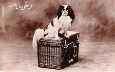 JAPANESE SPANIEL REAL PHOTOGRAPHIC DOG POSTCARD JAPANESE CHIN DOG POSTCARD