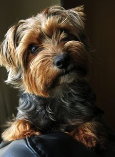 Yorkie - Russell -Morley Bear by Www.waynebrittlephotography.com