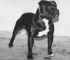 belnite dark orion Staffordshire Bull Terrier, Family Dogs, Pitbulls, Dark, Animals, Doggies, Animales, Animaux, Pitt Bulls