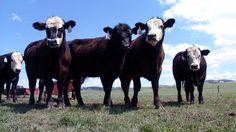 livestock production and nitrogen fixation