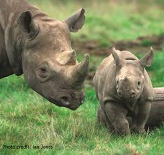 Females black rhinos usually have their first calves at around 3.5- 4 years old