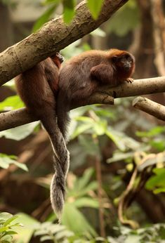 Red Titi Monkeys mate for life and have a strong bond between male and female, as exhibited by the entwined tails. Titis live in South America, from Colombia to Brazil, Peru and north Paraguay.