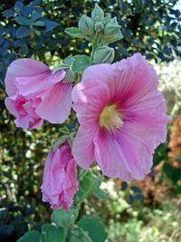 Rose trémière - La rose trémière connue comme étant la passe-rose est une plante médicinale apaisante de bien des troubles, elle agit en calmant les irritations gastriques et intestinales. La passe-rose sous forme de gel buccal calme les irritations du pharynx et réduit la production des glaires principalement d... http://www.complements-alimentaires.co/wp-content/uploads/2014/10/rose-tremiere-alcea-rosa.jpg - Par Nathalie sur Compléments alimentaires  #Lesplantesdela
