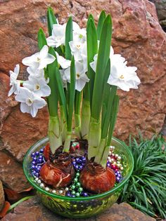 Easy To Grow Houseplants Clean the Air Paperwhite Narcissus Can Be Made To Bloom On Shorter Stems With A Special Alcohol And Water Mix. Also, Mardi Gras Beads Work Just Fine In Place Of Gravel. Indoor Flowers, Bulb Flowers, Indoor Plants, Garden Bulbs, Planting Bulbs, Planting Flowers, Mardi Gras Beads, Spring Bulbs, Deco Floral