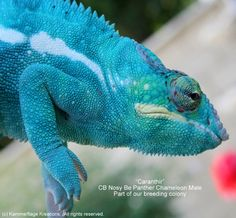 Check out our awesome Nosy Be Panther Chameleons for sale at super low ...