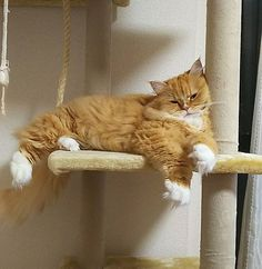 お疲れちゃん💓  #ラガマフィン #ragamuffin #もふもふ #猫 #にゃんこ #cat #にゃんすたぐらむ #ねこ #ねこ部 #猫好きさんと繋がりたい #猫好き #猫バカ #愛猫