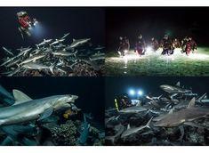 Laurent BALLESTA et ses 700 requins au Salon de la Plongée