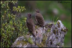 Verreaux's Monal-partridge (Tetraophasis obscurus)