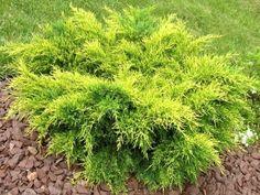 Juniperus media 'Old Gold' - jeneverbes - Coniferen | Maréchal