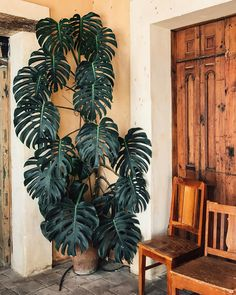 Spotted this magnificent Monstera hiding out in the back of a sweet little cafe on a recent visit to San Cristóbal in southern Mexico. It was facing an open-air patio full of anthuriums and a mango tree. So magical how indoor and outdoor spaces intertwine in warmer climate!