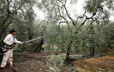 Olive farmers gather olives in Italy!