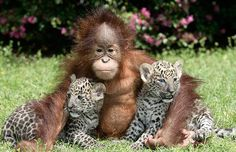 Two five-week-old leopard cubs named Chant and Sloka sit with a one-year-old orangutan named Rishi, at T.I.G.E.R.S. (The Institue For Endangered Species) in Myrtle Beach, South Carolina  Picture: BARCROFT MEDIA