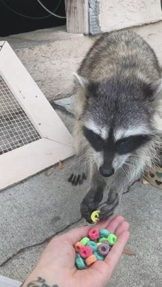 Animals Discover Olive the raccoon eating Froot Loops Baby Animal Videos, Baby Animals Pictures, Cute Animal Photos, Funny Animal Videos, Funny Animal Pictures, Cute Animal Gif, Videos Funny, Animal Babies, Baby Animals Super Cute