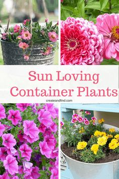 Indoor Container Gardening Container Plants for Full Sun Areas - If you're looking for some amazing container plants that love full sun, look no further. Eight amazing flowers and plants that will thrive in sun! Full Sun Container Plants, Full Sun Plants, Sun Loving Plants, Container Flowers, Container Gardening, Succulent Containers, Plants For Containers, Full Sun Garden, Full Sun Perennials