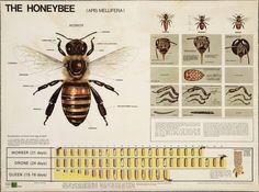 The Honeybee - Apis mellifera (Honigbij)