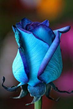 """Bluetaful"" Blue Rose That Blue Me Away !"