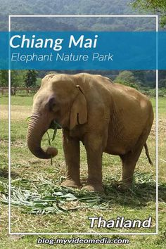 Visiting the Elephant Nature Park, a sanctuary for former captive working elephants, was a highlight of our visit in Chiang Mai. Elephant Nature Park, Chiang Mai Thailand, Travel Videos, Thailand Travel, Us Travel, Lifestyle Blog, Adventure, Animals, Animales