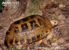 Elongated tortoise, side view