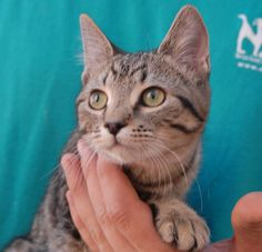 Sabrina's favorite activities include cuddling with people she adores and studying her new toys.  She is a beautiful spotted tabby kitten, 5 months of age and spayed, ready for adoption at Nevada SPCA (www.nevadaspca.org).  Sabrina has been lovingly raised in a foster home since her rescue.