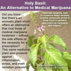 My mom has been taking this as a supplement..she's going to freak when I show her this!!! Lol Holy Basil