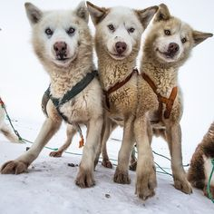 Greenland huskies get excited for a day of pulling a sled across the sea ice near Qaanaaq, Greenland.  For @natgeo and #pristineseas with @cristinamittermeier and @sea_legacy.  #pets #husky #dog #beauty @natgeocreative @thephotosociety