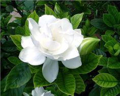 jazmín del Cabo: El género Jasminum, cuyas alrededor de 200 especies reciben el nombre común de jazmín,son oriundas de las regiones tropicales y subtropicales del Viejo Mundo y ampliamente cultivadas.