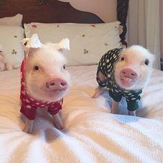 #pigs #pigstagram #instapig #cuteanimals #cutepigs #cutepets #oink