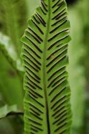 Image result for types of ferns