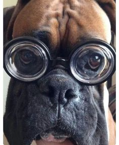 This Boxer can see a tennis ball from 1/2 mile!