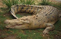 crocodilo da austrália