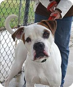 Delaware, OH - American Bulldog Mix. Meet Byron, a dog for adoption. http://www.adoptapet.com/pet/14675370-delaware-ohio-american-bulldog-mix