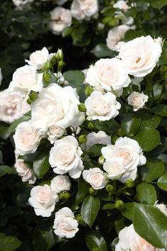 Aspirin® Rose Okoye Marvel, White Roses, Pink Roses, Vision Marvel Comics, Shuri Marvel, Nebula Marvel, Star Lord, White Gardens, Hanging Planters
