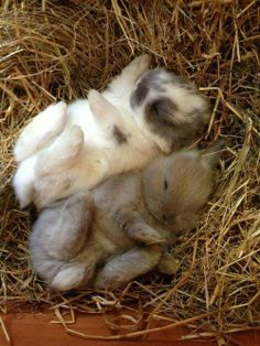 Sleeping tiny bunnies <3 From: https://www.facebook.com/CatsBeaversDucks
