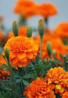 A MAGYAROK TUDÁSA: A BÁRSONYVIRÁG (BÜDÖSKE) ELŰZI A KÁRTEVŐKET KERTÜNKBŐL Flora Flowers, Permaculture, Potted Plants, Flower Art, Flower Arrangements, Nature, Landscape, Outdoor, Gardening