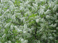 Prunus padus, tuomi