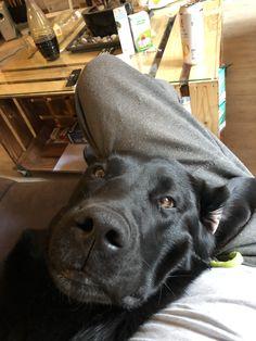 I love our dog❤️ Family Dogs, Arrow, Labrador Retriever, My Love, Animals, Labrador Retrievers, Animales, Animaux, Animal